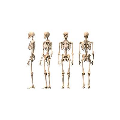 مولاژ اسکلت بدن انسان (اندازه طبیعی)