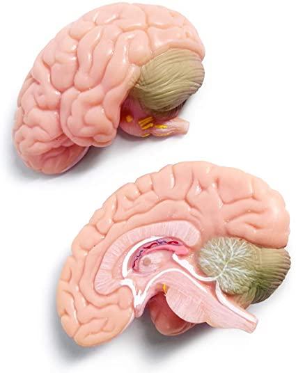 مولاژ مغز 2 تکه