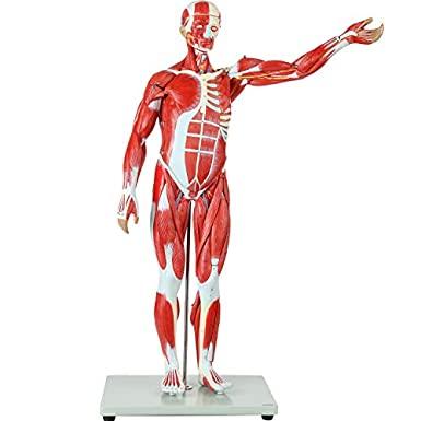 مولاژ عضلات 1/4 اندازه طبیعی