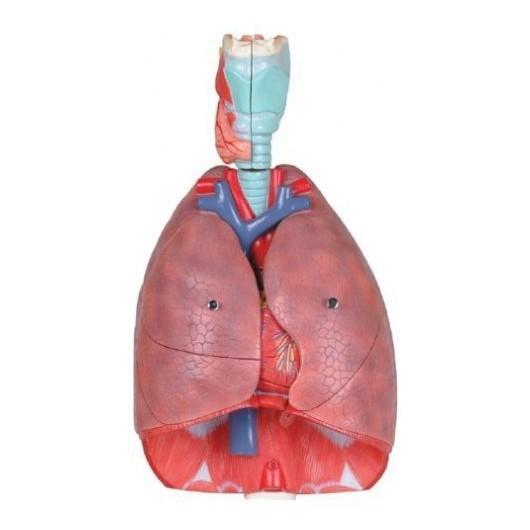 مولاژ دستگاه تنفسی