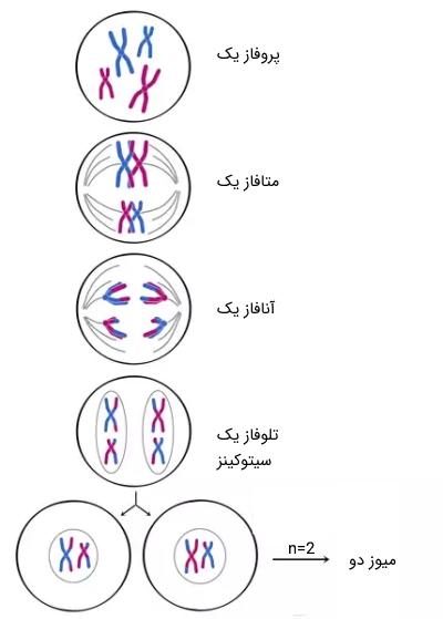 پوستر تقسیم سلولی میتوز