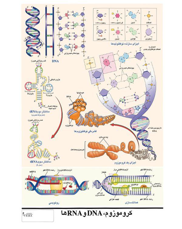 پوستر آموزش کروموزوم