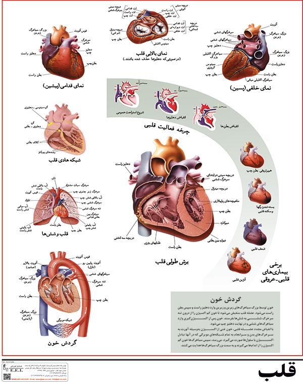 پوستر آموزشی قلب انسان